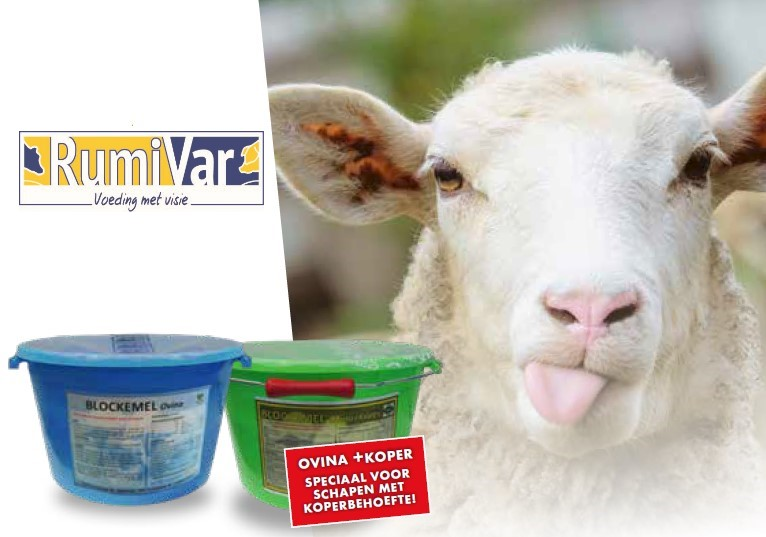 Texelaar schapenkeuring in Bathmen zaterdag 18 september